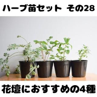 ハーブ苗セット その28 花壇におすすめの4種 要望対応可!(プランター)