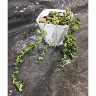 多肉植物 グリーンネックレス 抜き苗(その他)