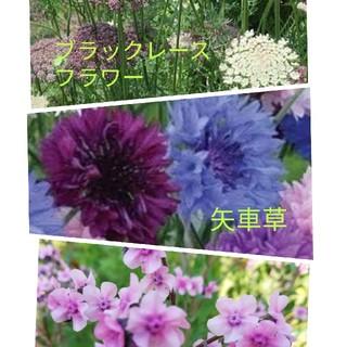秋蒔き種セット♯ブラックレース(その他)