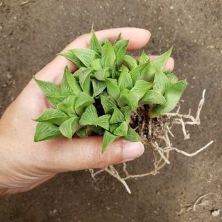 たにく様専用 多肉植物 ハオルチア グリーンレツーサ 抜き苗(その他)
