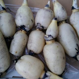 れんこん 小~中サイズ 3,5キロ(野菜)