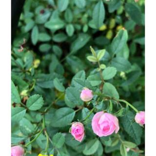 薔薇苗 小さなピンクの薔薇(その他)
