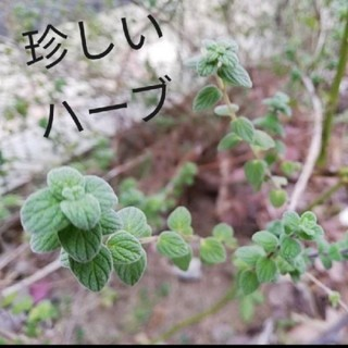値下げ★マジョラムシリアカ 種子 珍しいハーブ(その他)