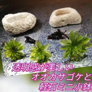 ♥透明感が美しいオオカサゴケと軽石ミニ小鉢セット♥(その他)
