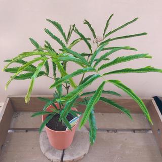 観葉植物 エバーフレッシュ(その他)