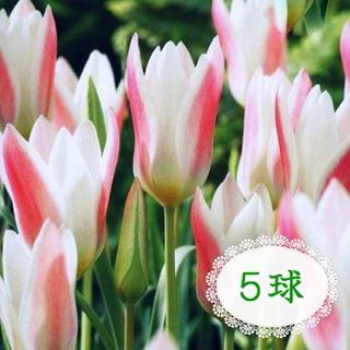 5球♣球根 原種チューリップ レディージェーン 白×赤 レッド系 人気品種(その他)