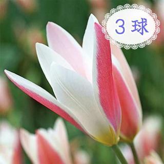 3球◆球根 原種チューリップ レディージェーン レッド系 白×赤 人気品種(その他)