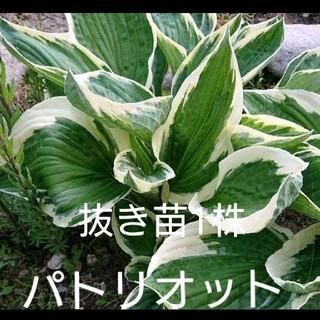 斑入りギボウシ パトリオット 抜き苗1株(その他)