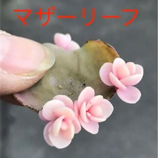 ★★マザーリーフ★奇跡の葉❤️★親葉★妊活に♪♪★多肉植物(その他)
