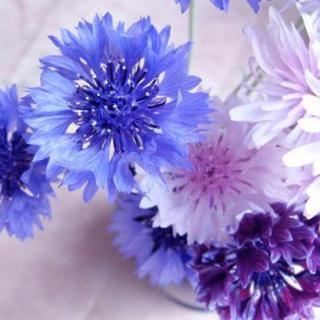 矢車草 (矢車菊) 八重咲きミックス♪ 切り花やドライフラワー、ハーブティーにも(ドライフラワー)