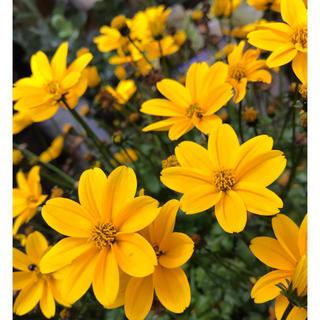 花 種子 ビデンス(ドライフラワー)