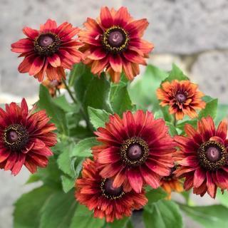 ルドベキア キャニオンレッド 花の種(その他)