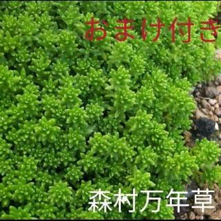 森村万年草 多肉植物 セダム(その他)