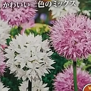 アリウム球根 ピンク&ホワイト 4球根(その他)