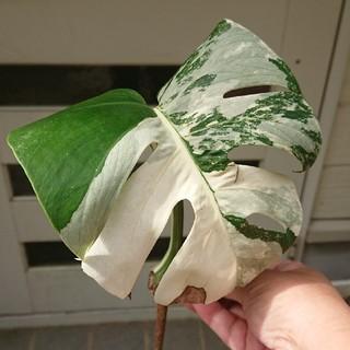 モンステラ 斑入り 観葉植物(プランター)