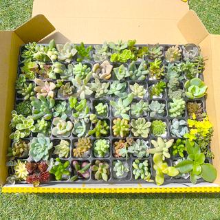 多肉植物 カット苗 25種以上 80カット以上(その他)