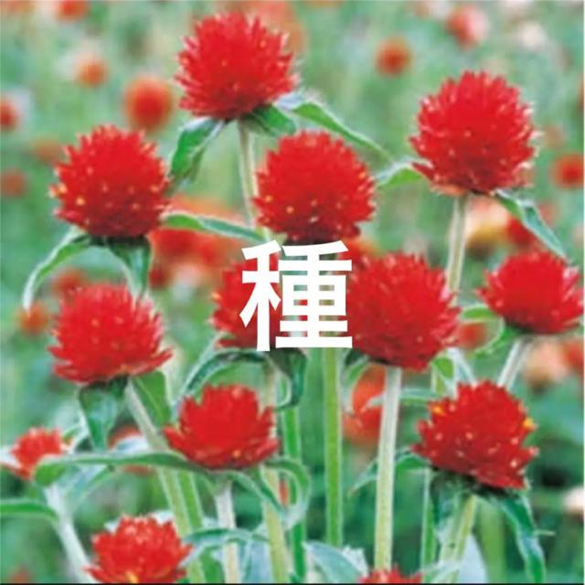 人気色❣️千日紅の種 ストロベリーフィールズ 即購入歓迎❣️ ハンドメイドのフラワー/ガーデン(その他)の商品写真