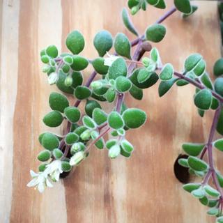 【期間限定】2セット購入で3セット分お届け ブロウメアナ 多肉植物 セダム 苗(その他)