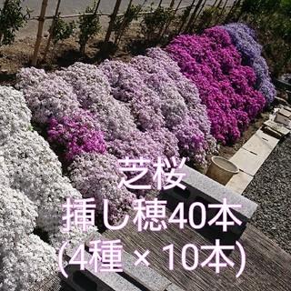 芝桜 挿し穂 40本(4種×10本)(その他)