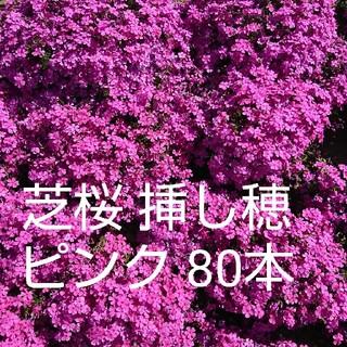 芝桜 挿し穂 ピンク 80本(その他)