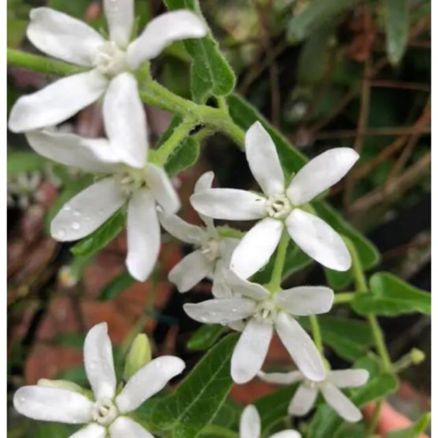 ホワイトスター 種 40粒 ハンドメイドのフラワー/ガーデン(その他)の商品写真
