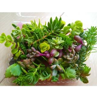 多肉植物 カット苗(小パック)