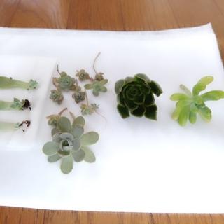 多肉植物 カット苗&葉挿し(その他)