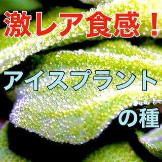 【不思議な食感‼️】アイスプラントの種 20粒 野菜 多肉植物 家庭菜園 タネ(野菜)