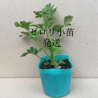 セロリの小苗育成( 浅根 )を販売(野菜)