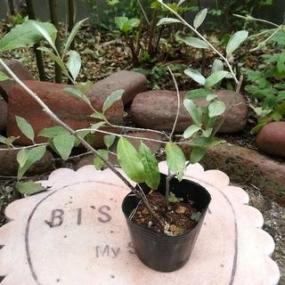 ロシアンオリーブ挿し木した苗、ポット苗、(その他)