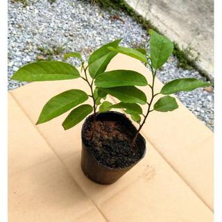 沖縄本島産 シャカトウ(釈迦頭)の発芽 2本苗(フルーツ)