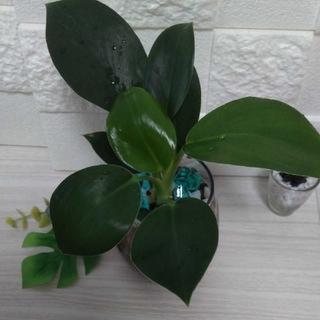 フィロデンドロン グリーンプリンセス ハイドロカルチャー 観葉植物  インテリア(その他)