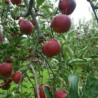 秋の味覚のオマケ入り、シャキっとジューシー高糖度の甘いリンゴ秋映11キロメガ入(フルーツ)