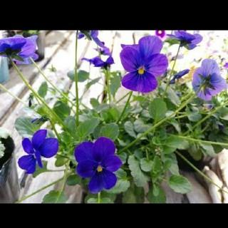 ビオラ 青紫 種子30粒(その他)