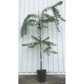《現品》ミモザアカシア 苗木 樹高1.5m(鉢含まず)13【鉢/鉢植え/苗木】(その他)