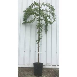 《現品》ミモザアカシア 苗木 樹高1.4m(鉢含まず)14【鉢/鉢植え/苗木】(その他)