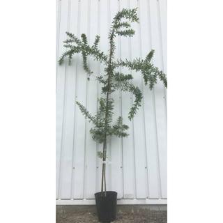 《現品》ミモザアカシア 苗木 樹高1.6m(鉢含まず)17【鉢/鉢植え/苗木】(その他)