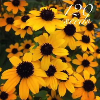 ◆ルドベキア・タカオ◆【オーガニック種子 120粒】(その他)