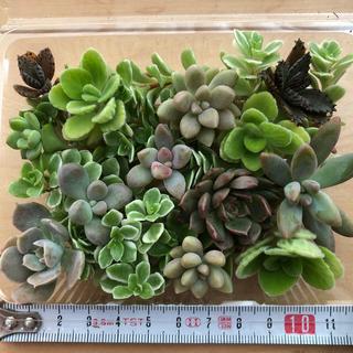 【多肉植物】カット苗10種詰め合わせ①(その他)