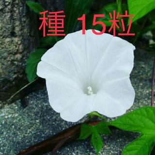 あさがおの種 15粒 白花(その他)