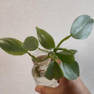 サ―ビス品  観葉植物  フイロデンドロン  シルバーメタル(その他)