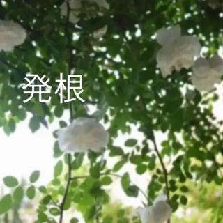 ★無農薬★(ᵔᴥᵔ)♡アルベリックバルビエ♡可愛いお庭♡(ホワイトガーデン(その他)