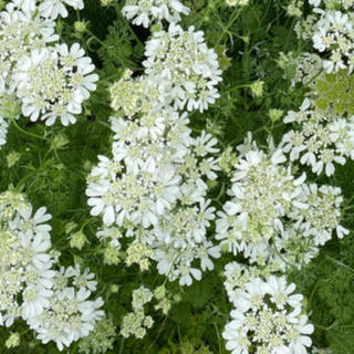 今から撒き時! オルレア 種 50粒 白花 バラとよく合います(その他)