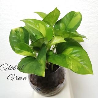 新種 ポトス グローバルグリーン 丸BigGlass(その他)