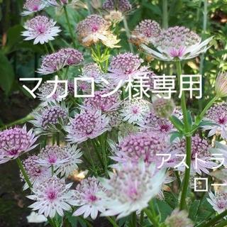 宿根草 アストランティア 2品種 専用(その他)