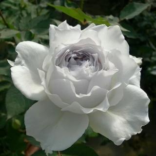 🌸きり樣専用ページ🌸薔薇🌹『ガブリエル』🌹挿し木苗(ドライフラワー)