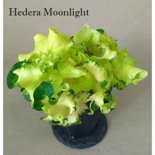 ヘデラ ムーンライト/観葉植物3(その他)
