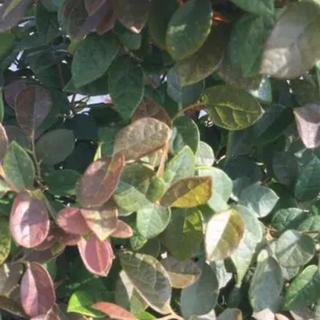 トキワマンサク 緑葉紅花 挿し木 5本 剪定苗(その他)