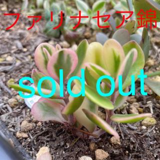 ★★ファリナセア錦★抜き苗★斑入り★ピンク★多肉植物★★(その他)