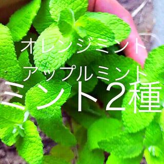 ハーブ4種プレゼント付き(野菜)